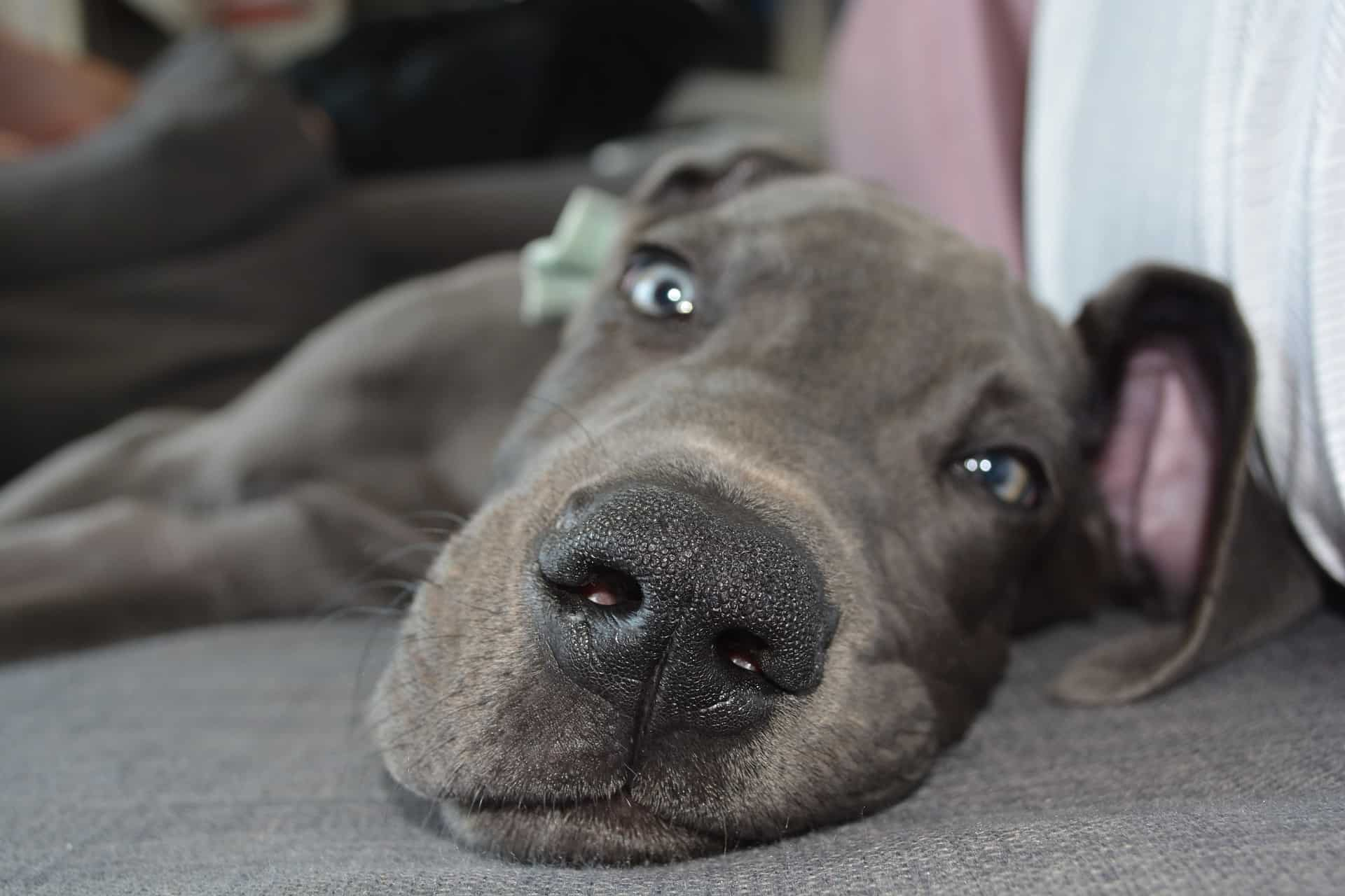 Great Dane Mom Dog Births Great Litter: 19 Healthy Puppies!
