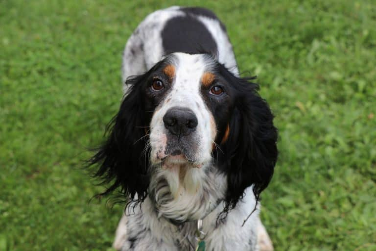 English Setter - Sporting Dog