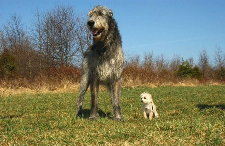 Irish Wolfhound - Hound Group
