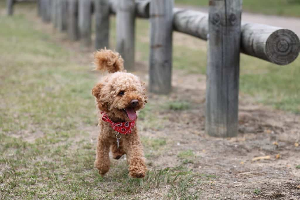Dog Personalities By Breed: The Toy Group