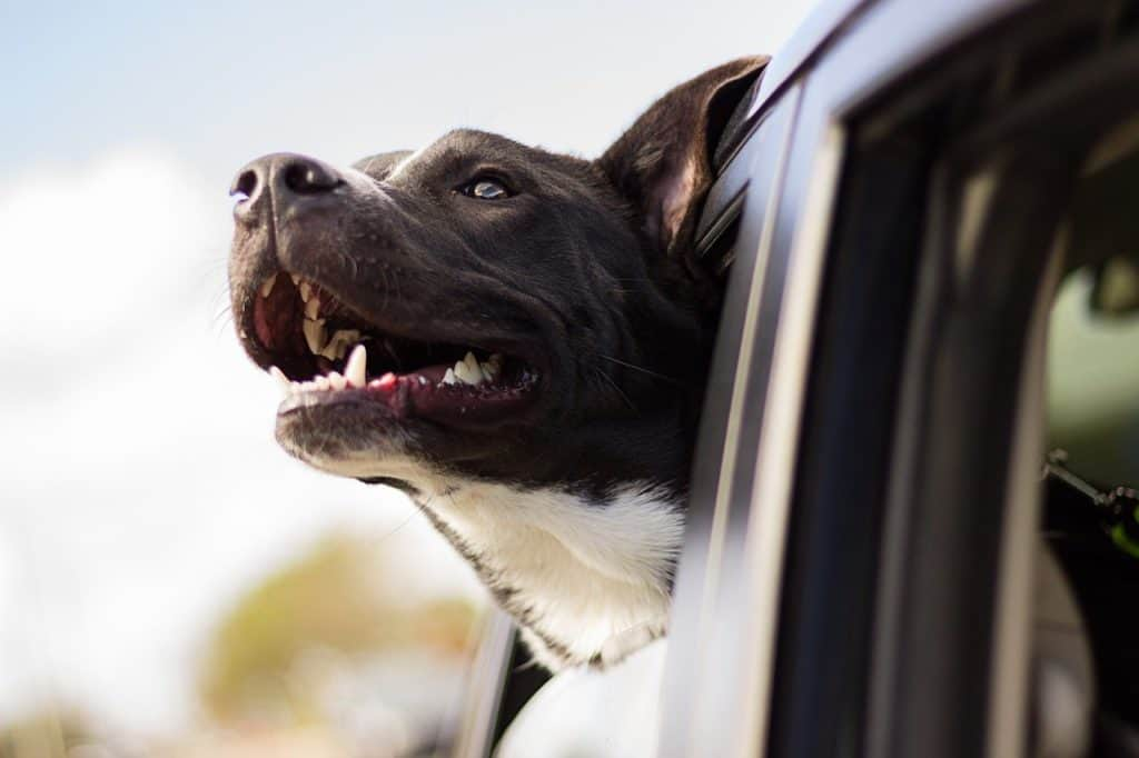 Top 6 Safety Tips For Driving With Your Pet