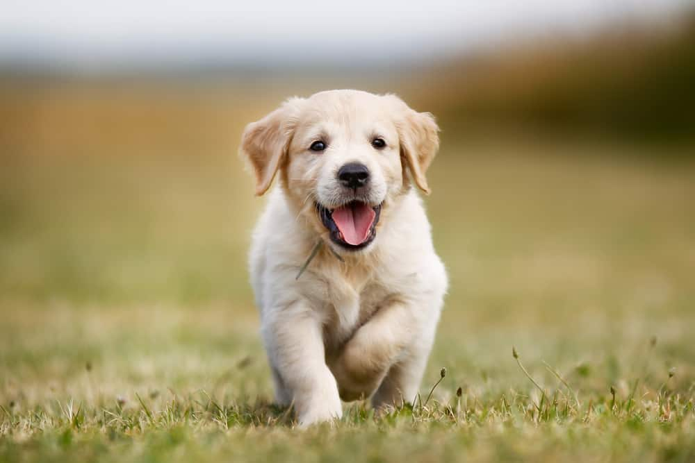 Top 4 Best Family Dog Breeds