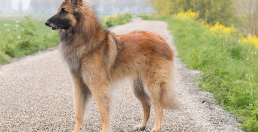 Dog Personalities By Breed: The Herding Group