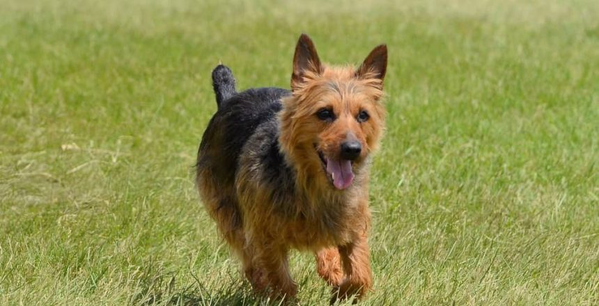Dog Personalities By Breed: The Terrier Group