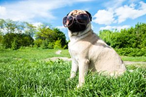 Dog sitting in nature in sunglasses