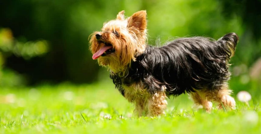 Best Terrier Breeds For Families
